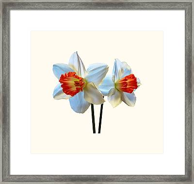 Two White And Orange Daffodils Framed Print by Susan Savad