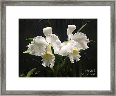 Two White Orchids Framed Print