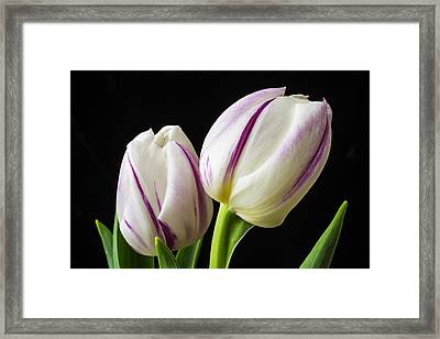 Two White Purple Tulips Framed Print