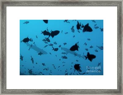 Two Whitetip Reef Sharks Swimming Amongst A School Of Blue Triggerfish Framed Print