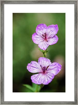 Two Wild Geraniums Framed Print by Vishwanath Bhat