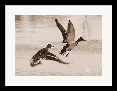 Two Ducks In Flight Photographs Framed Prints