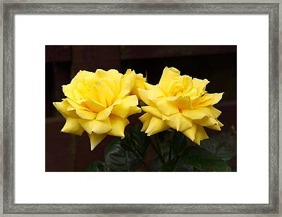 Two Yellow Rose Buds Framed Print by Stephen Athea