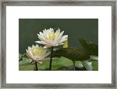 Two Yellow Water Lilies Framed Print by Linda Geiger