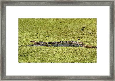 Framed Print featuring the photograph Two Young Gators by Steven Sparks