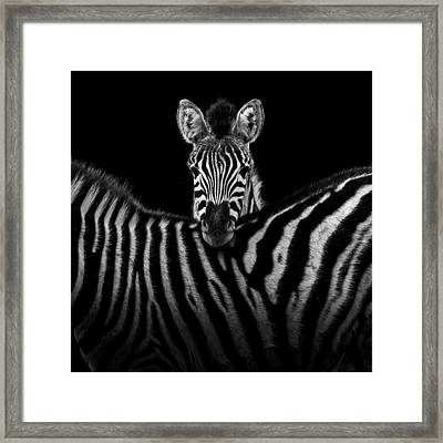 two zebras in black and white framed print by lukas holas