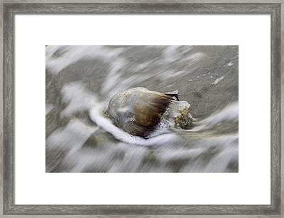 Tybee Isalnd Jellyfish Framed Print by Elizabeth Eldridge