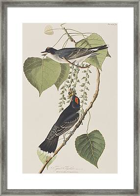 Tyrant Fly Catcher Framed Print
