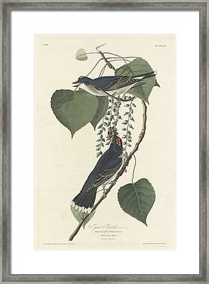 Tyrant Flycatcher Framed Print by Rob Dreyer