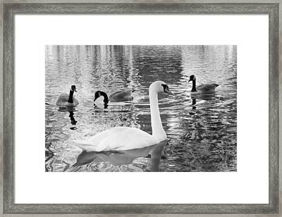 Ugly Duckling Framed Print