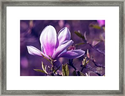 Ultra Violet Magnolia  Framed Print