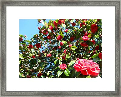 Uncommon Camellias Framed Print