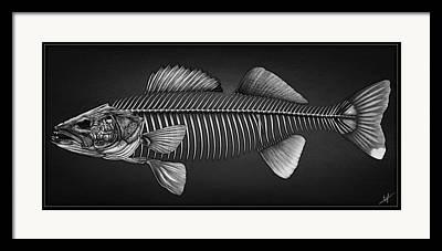 Walleye Drawings Framed Prints