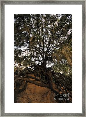 Under Spanish Moss Framed Print by David Lee Thompson