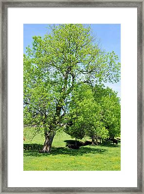 Under The Oak Framed Print