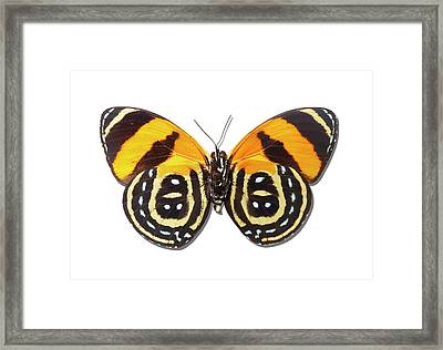 Underside Of Brush-footed Butterfly Of Peru Framed Print