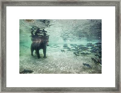 Underwater View Of Coastal Brown Bear Framed Print by Paul Souders