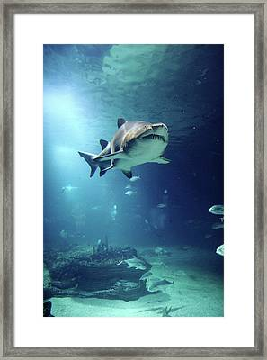 Underwater View Of Shark And Tropical Fish Framed Print by Rich Lewis