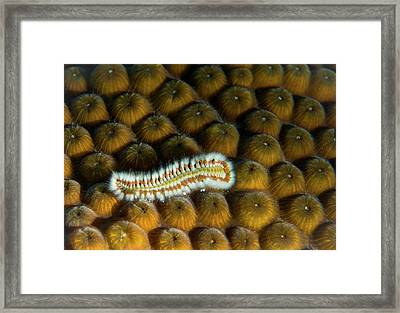 Undulating Bristle Worm Framed Print by Jean Noren
