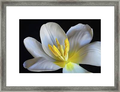 Framed Print featuring the photograph Unfolding Tulip. by Terence Davis