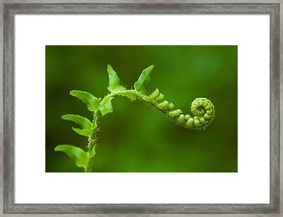 Unfurling Fern. Framed Print