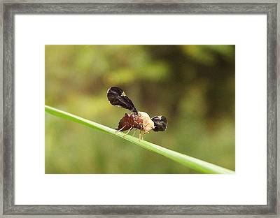 Unidenti Fly Framed Print by Joshua Bales