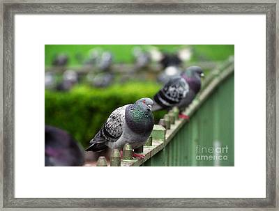 Union Square Pigeons Framed Print