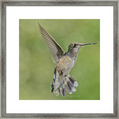 Untitled Hum_bird_four Framed Print