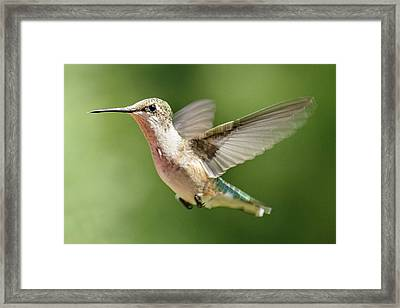 Untitled Hum_bird_two Framed Print