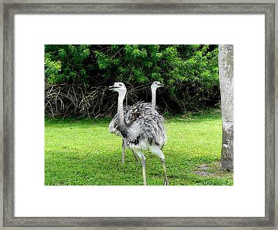 Ostriches Optical Ilusion Framed Print