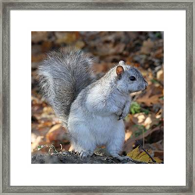 Framed Print featuring the photograph Unusual White And Gray Squirrel by Doris Potter