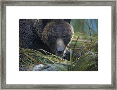 Up Close And Personal With A Grizzly Framed Print