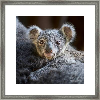 Up Close Koala Joey Framed Print