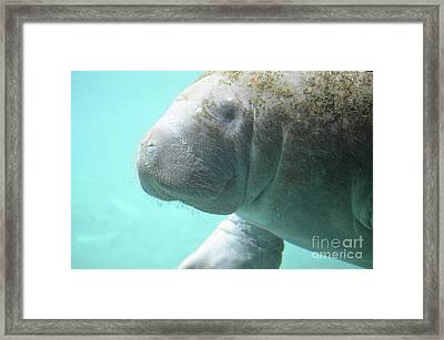 Up Close With A Manatee Framed Print