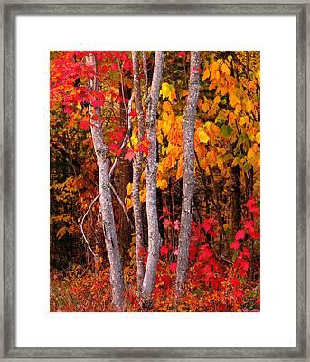 Usa, Maine, Autumn Maple Trees Framed Print