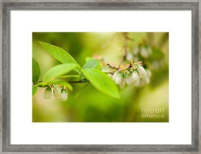 Vaccinium Corymbosum Blueberry Flowers Framed Print by Arletta Cwalina