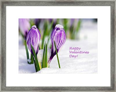 Valentines Day Crocuses Framed Print