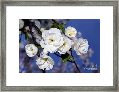 Framed Print featuring the photograph Vancouver 2017 Spring Time Cherry Blossoms - 1 by Terry Elniski