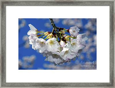 Framed Print featuring the photograph Vancouver 2017 Spring Time Cherry Blossoms - 11 by Terry Elniski