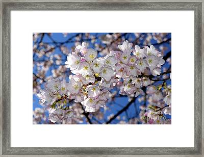 Framed Print featuring the photograph Vancouver 2017 Spring Time Cherry Blossoms - 12 by Terry Elniski