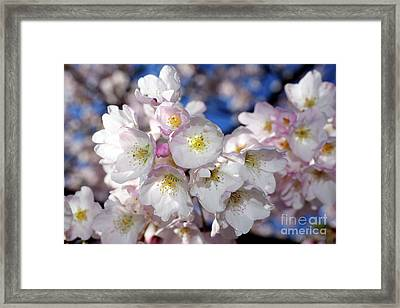 Framed Print featuring the photograph Vancouver 2017 Spring Time Cherry Blossoms - 13 by Terry Elniski
