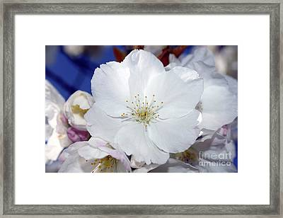 Framed Print featuring the photograph Vancouver 2017 Spring Time Cherry Blossoms - 2 by Terry Elniski