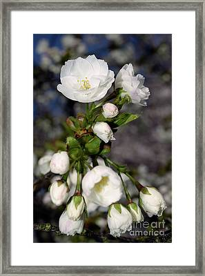 Framed Print featuring the photograph Vancouver 2017 Spring Time Cherry Blossoms - 3 by Terry Elniski