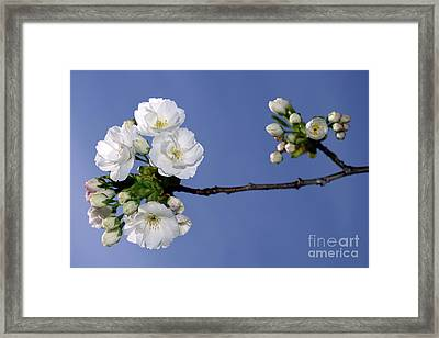 Framed Print featuring the photograph Vancouver 2017 Spring Time Cherry Blossoms - 4 by Terry Elniski