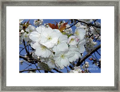Framed Print featuring the photograph Vancouver 2017 Spring Time Cherry Blossoms - 5 by Terry Elniski