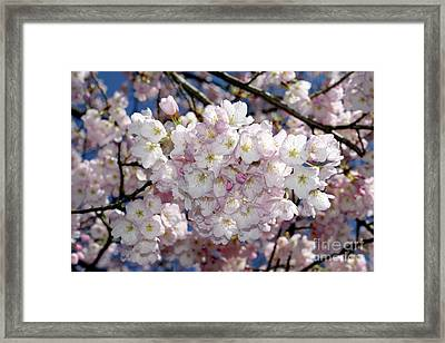 Framed Print featuring the photograph Vancouver 2017 Spring Time Cherry Blossoms - 6 by Terry Elniski