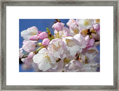 Framed Print featuring the photograph Vancouver 2017 Spring Time Cherry Blossoms - 7 by Terry Elniski