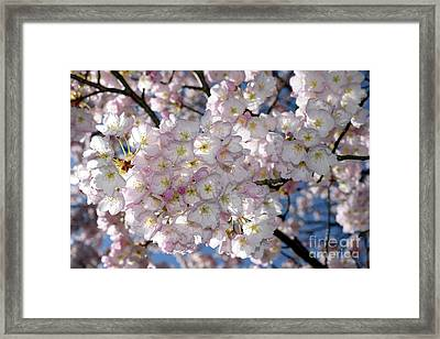 Framed Print featuring the photograph Vancouver 2017 Spring Time Cherry Blossoms - 8 by Terry Elniski