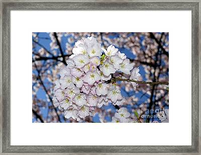 Framed Print featuring the photograph Vancouver 2017 Spring Time Cherry Blossoms - 9 by Terry Elniski