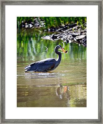 Vancouver Great Blue Heron Having Lunch Framed Print by Terry Elniski